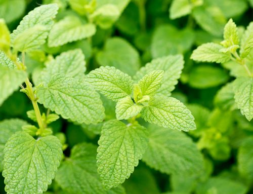 A Remarkable Herb Improves Memory and Mood