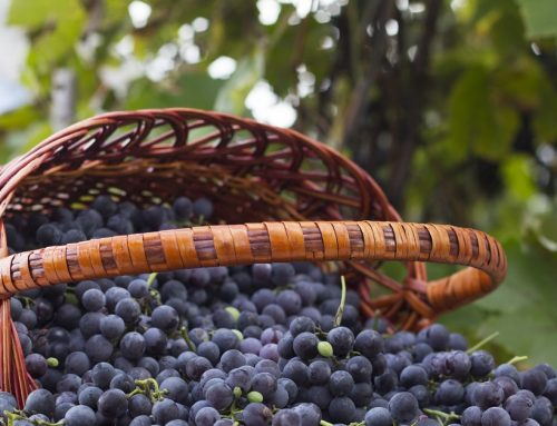 This Gift of the Grape Can Protect Memory and May Fight Depression
